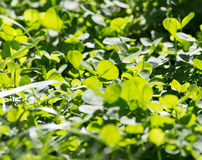 Clover in nature Stock Images