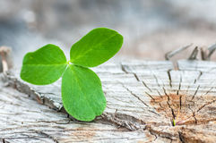 Clover on the old wooden Stock Photos