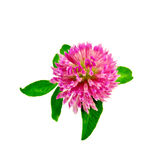 Clover one with leaves Royalty Free Stock Image