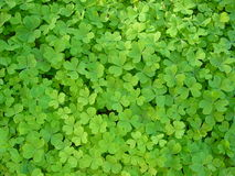 Clover patch. Patch of plants that look like clover but are probably oxalis Royalty Free Stock Image