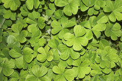 Clover Patch  Royalty Free Stock Photography