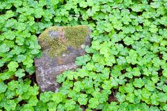 Clover patch. In the forest with a moss-covered stone Stock Photography