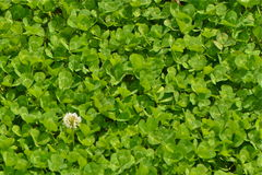 Clover patch stock images