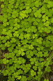 Clover patch on forest floor Royalty Free Stock Image