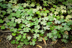 Clover Patch in Northern California royalty free stock images