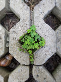 Clover in the paving floor Stock Photography
