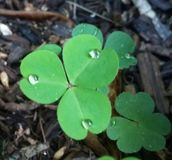 The clover Stock Photo