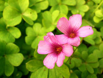 Clover and pink flowers Royalty Free Stock Photos