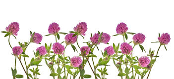 Clover pink flowers on white stock photo