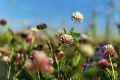 Clover pink on a summer meadow royalty free stock photography