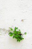 Clover plant breaking through a wall Royalty Free Stock Image