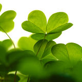 Clover plant macro shot. Stock Photography