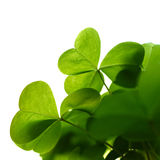 Clover plant macro shot, isolated Royalty Free Stock Image
