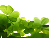 Clover Plant Macro Shot, Isolated Royalty Free Stock Photography