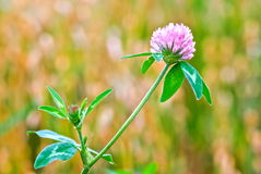 Clover plant Stock Photos