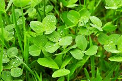 Clover plants Stock Image