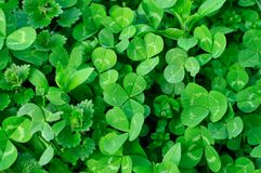 Clover plants Royalty Free Stock Photos