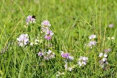 Clover plants and Bumblebee, Czech Republic, Europe Stock Photos