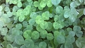 Clover plants Stock Photos