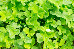 Clover plants Stock Photography