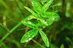 Clover plants Royalty Free Stock Image