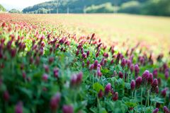 Clover purple field with a tilt-shift lens. Field with purple clover flowers using tilt shift lens Royalty Free Stock Images