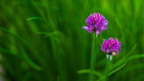 Clover. Purple clover in the summer Stock Photography