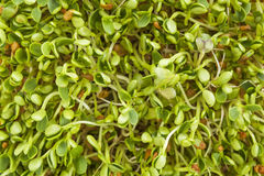 Clover and radish sprouts Royalty Free Stock Images