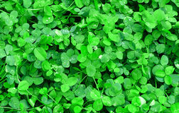 Clover after the rain Royalty Free Stock Image