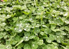 Clover rain drops royalty free stock photo