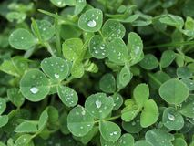 Clover with rain drops Royalty Free Stock Image
