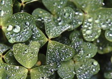 Clover with raindrops Royalty Free Stock Photos