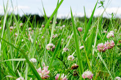 Clover red on a sunny day. Red clover with green grass in Sunny day royalty free stock image
