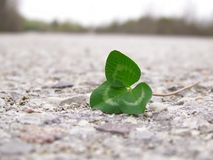 Clover on Road Stock Images