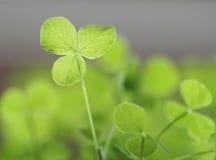 Clover seedlings. Small clover seedlings, taken with macro lense Royalty Free Stock Photo