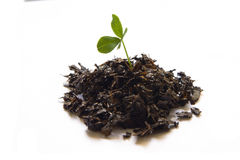 Clover in soil Royalty Free Stock Photography