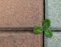 Clover on the stone pavement Royalty Free Stock Photos