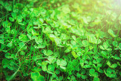 Clover in sunlight Royalty Free Stock Photos