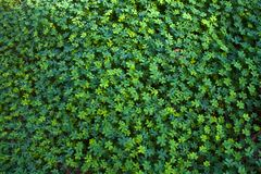 Clover texture. A clover texture field in a close-up photography Royalty Free Stock Photography