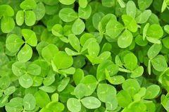 Clover texture Royalty Free Stock Photo