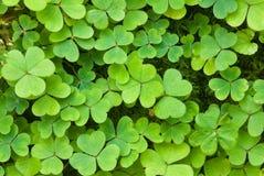 Clover (Trifolium) Stock Image