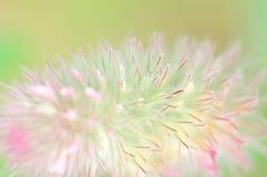 Clover. Trifolium arvense. Stock Image