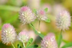 Clover. Trifolium arvense. Royalty Free Stock Image