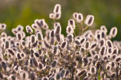 Clover. Trifolium arvense. Stock Photo