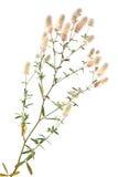 Clover. Trifolium arvense Royalty Free Stock Images