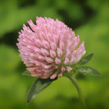 Clover trifolium pratense Royalty Free Stock Photo
