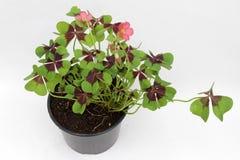 clover Växt av släktet Trifolium för fyra blad på vit bakgrund med kopieringsutrymme växt av släktet Trifoliumväxt för fyra sidor Royaltyfri Fotografi