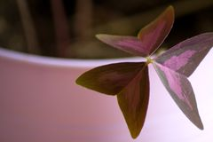 Clover. In a violet flowerpot Royalty Free Stock Photo