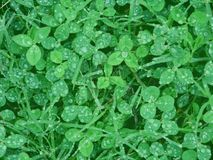 Clover with water drops Royalty Free Stock Photography
