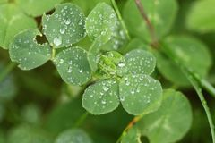 Clover with water drops Stock Photo